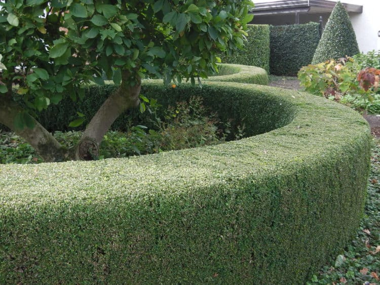 large immaculate Common box hedge Buxus sempervirens