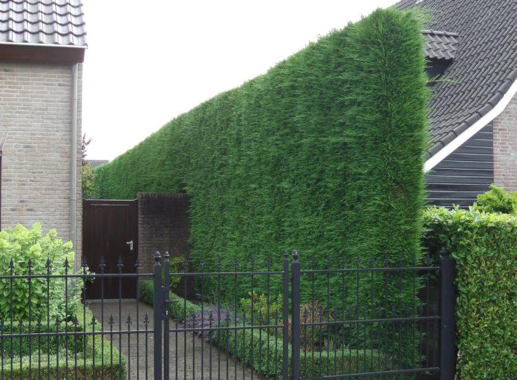 Tall narrow Green Leylandii hedge Cupressocyparis leylandii