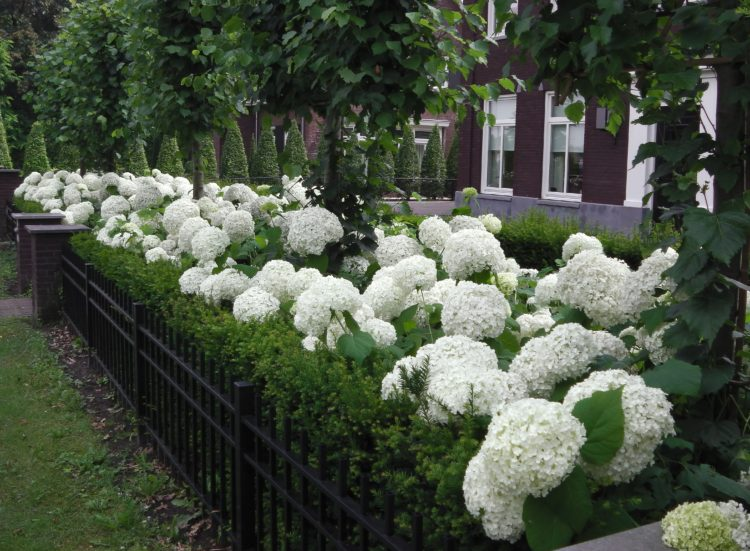 Hydrangea arborescens Annabelle decorative hedge in flower
