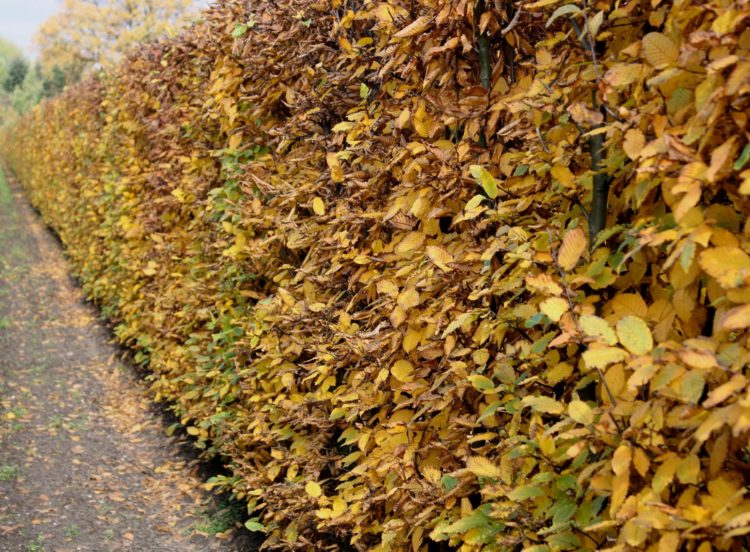 Hornbeam hedge Autumn colour Carpinus betulus