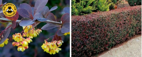 Purple berberis hedging plants Berberis thunbergii atropurpurea
