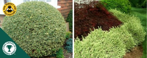 Variegated box hedging plants buxus sempervirens variegata