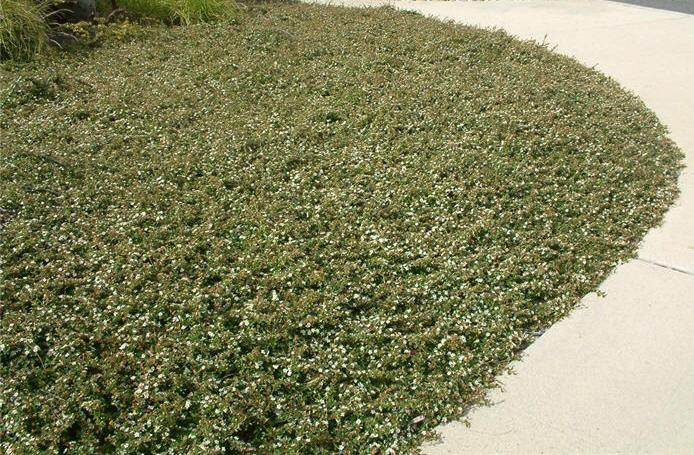 Cotoneaster Dammeri Ground Cover