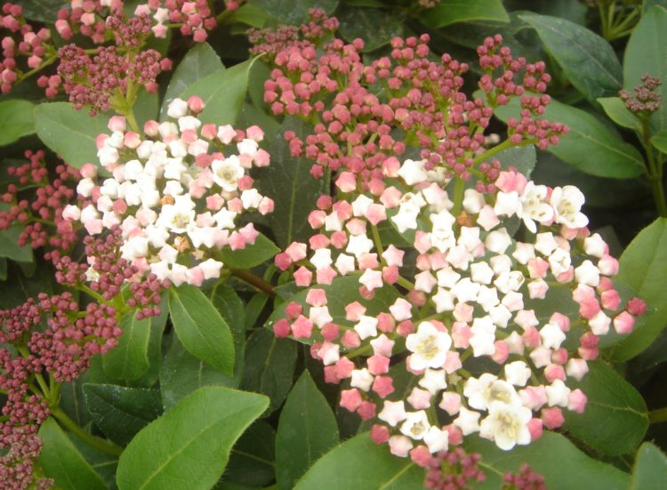 Viburnum tinus Eve Price hedging plant in flower