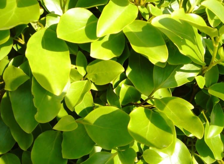 detail of leaf on a Griselinia littoralis hedge plant