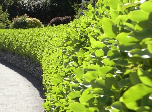 Sweeping curved hedge of New Zealand Privet Griselinia littoralis