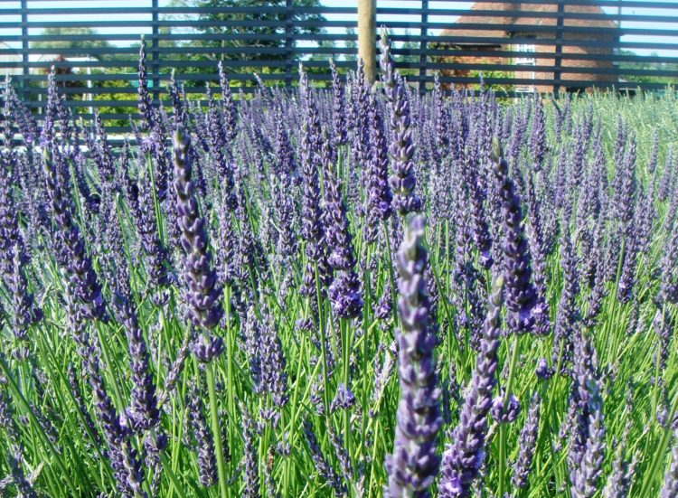 Lavender Grosso hedging plants in flower on the nursery Lavandula intermedia Grosso