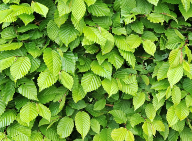 Summer foliage on a Hornbeam hedge plant Carpinus betulus