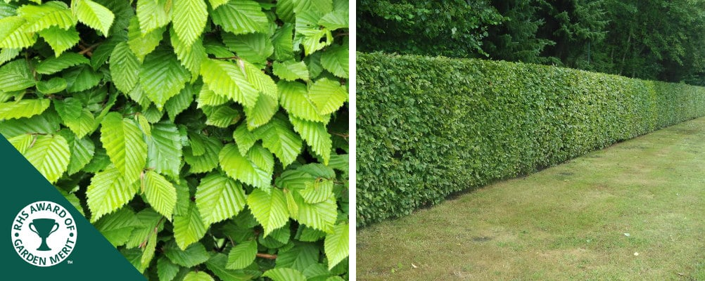 Buy Root Ball Hedging | Root Ball Hedge Plants | Rootball ...