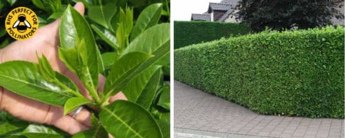 laurel common hedging