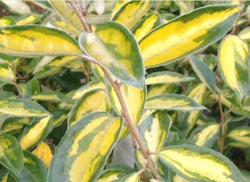 Close up of evergreen leaf on Elaeagnus ebbingeii Limelight hedge plant