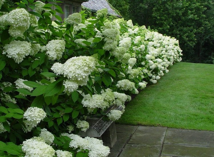 hydrangea paniculata limelight hedging plants. Black Bedroom Furniture Sets. Home Design Ideas