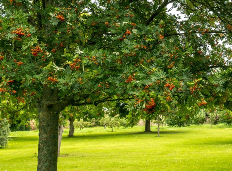 Mountain Ash trees in a group Sorbus aucuparia