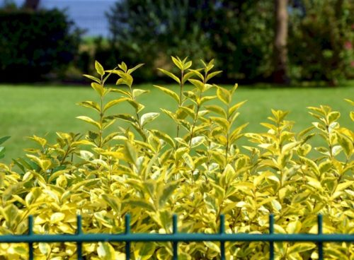 Foliage of a Golden Privet hedge Ligustrum ovalifolium Aureum