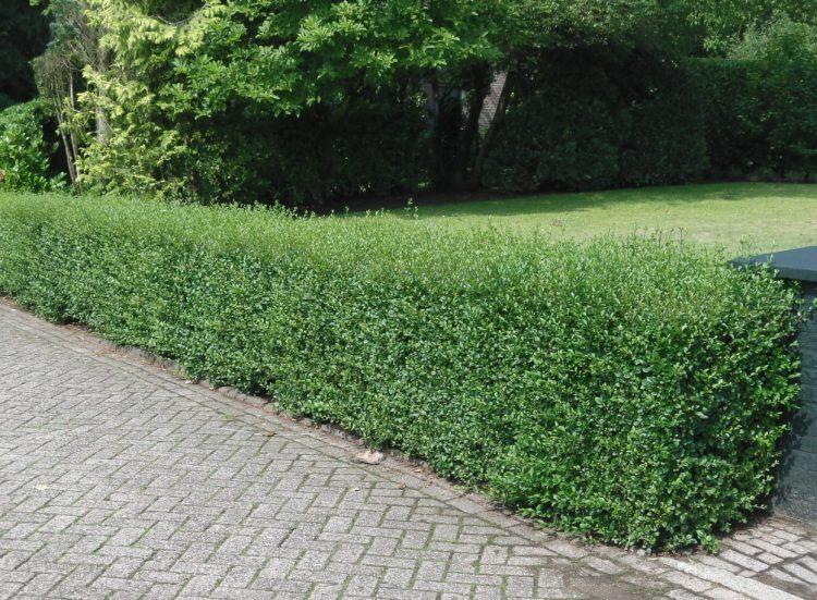 Low decorative hedge of Green Privet Ligustrum ovalifolium