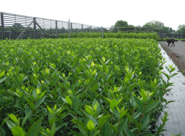 Young potted Green Privet hedging plants growing on the nursery Ligustrum ovalifolium