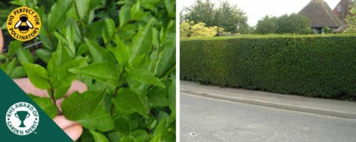 privet green hedging