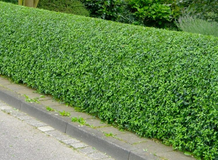 Neatly trimmed hedge of Wild Privet Ligustrum vulgare