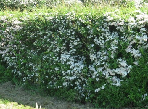 Quickthorn Hawthorn hedge in flower Crataegus monogyna