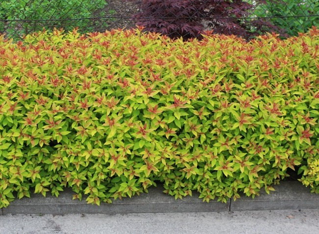Small decorative Golden Spiraea hedge Spiraea japonica Goldflame