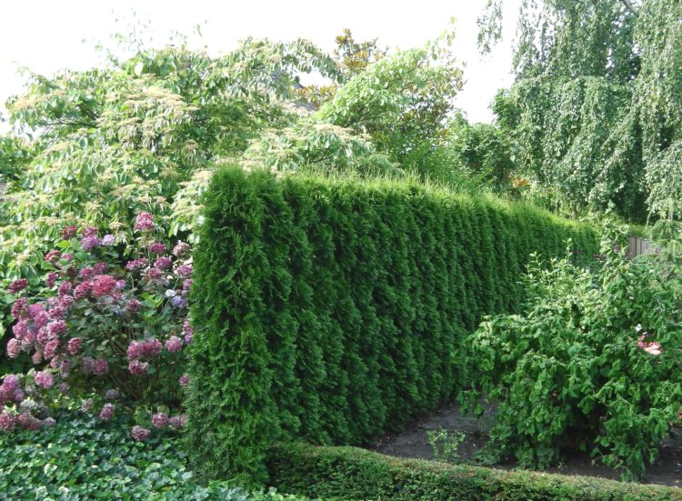 Garden conifer hedge Thuja occidentalis Smaragd