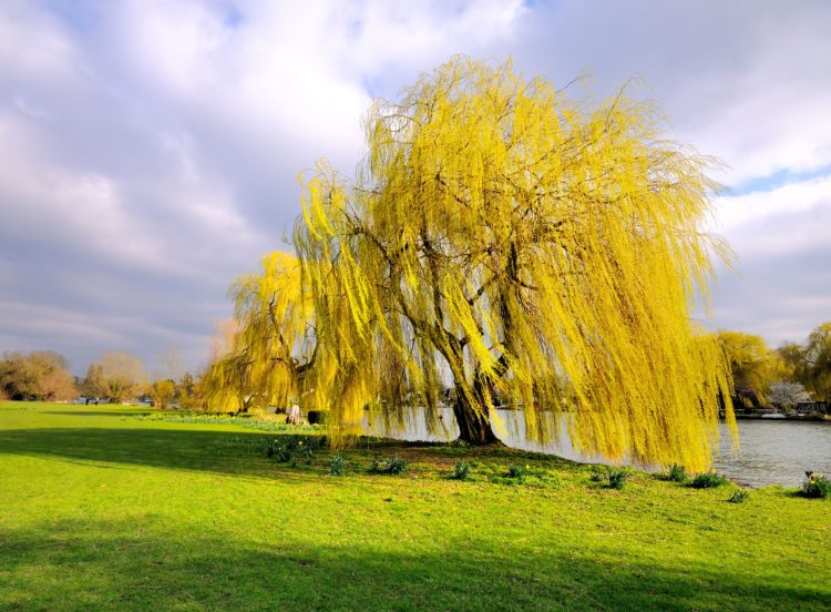 Weeping Golden Willow next to a river in spring Salix x Chrysocoma