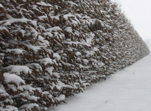 Hornbeam hedge in winter with snow on retained foliage Carpinus betulus