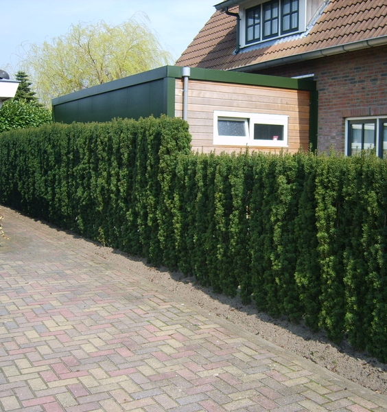 Narrow Yew hedge next to driveway Irish Yew Taxus baccata fastigiata
