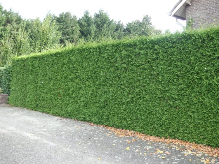 Hedges That Filter Noise And Pollution - Hedging Plant Advice