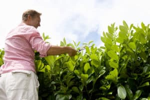 Trimming a laurel hedge