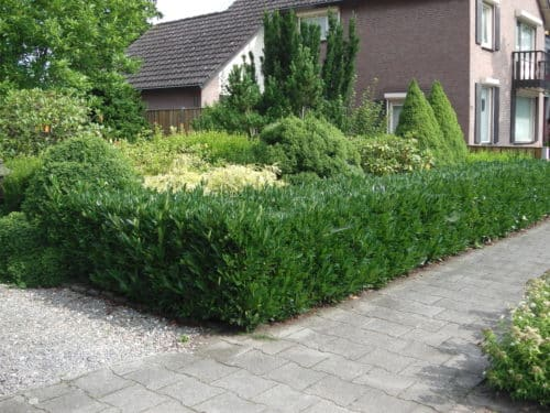 Slow Growing Hedges