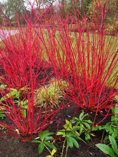 red stem dogwood winter stems