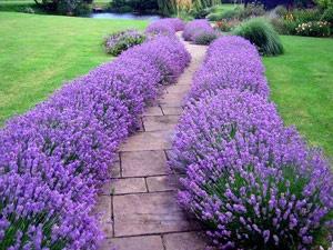 lavender munstead hedge in full flower