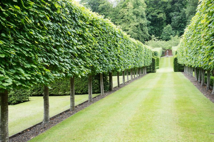 Lime pleached trees