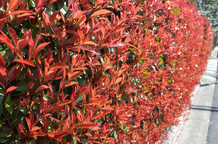 RED LEAVES ON HEDGE OF PHOTINIA CARRE ROUGE