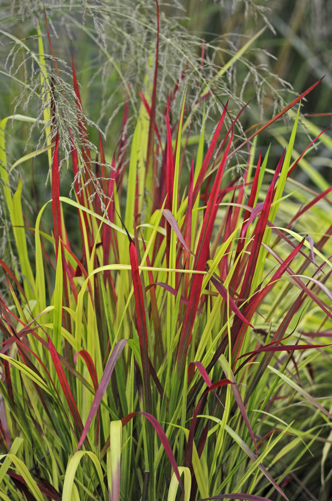 IMPERATA RED BARON GRASSES SHOWING RED AND GREEN FOLIAGE