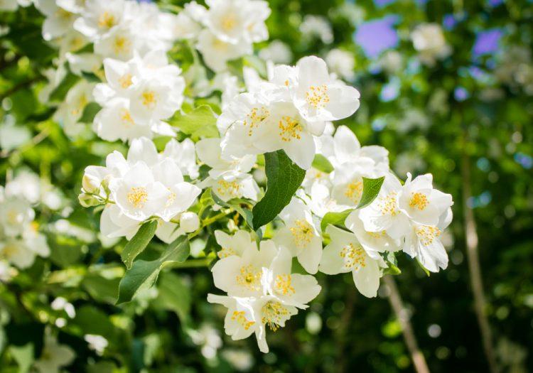 CLOSE UP WHITE FLOWERS OF PHILADELPHUS LEMOINEI