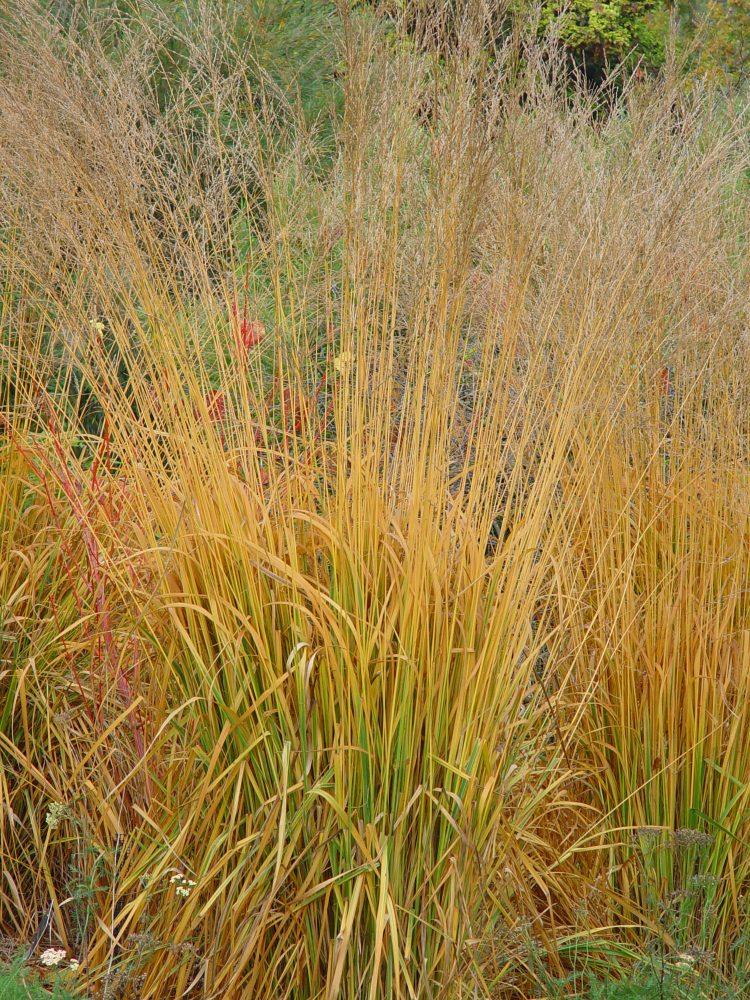 MOLINIA CAERULEA HEIDEBRAUT GRASSES IN AUTUMN