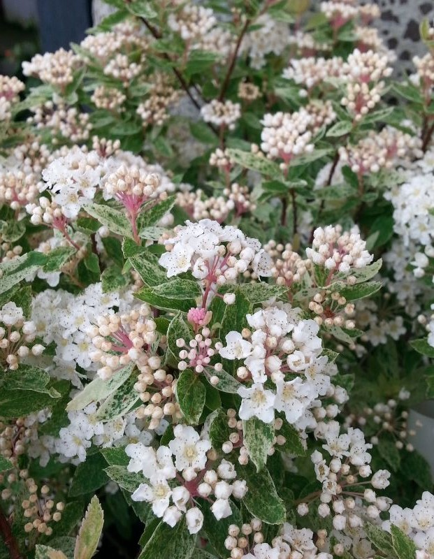 FLOWERS AND FOLIAGE OF SPIRAEA VANHOUTTEI PINK ICE HEDGING PLANTS