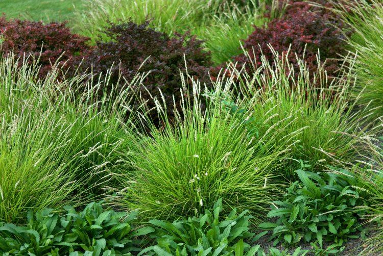 EMERGING FLOWER STEMS OF SESLERIA AUTUMNALIS GRASSES