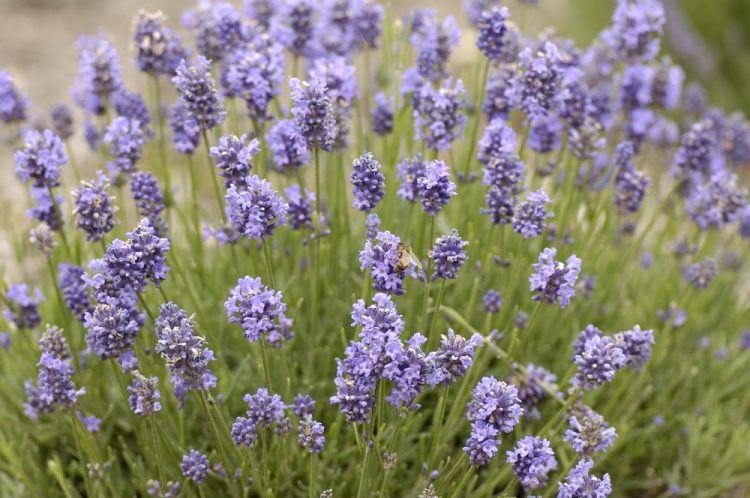 MATURE LAVENDER THUMBELINA LEIGH PLANT IN FLOWER