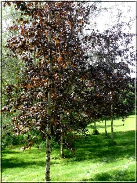 group of royal frost birch trees in a garden