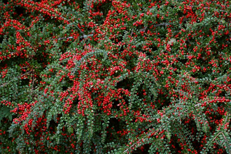 COTONEASTER HORIZONTALIS GROUND USED AS A GROUND COVER PLANT